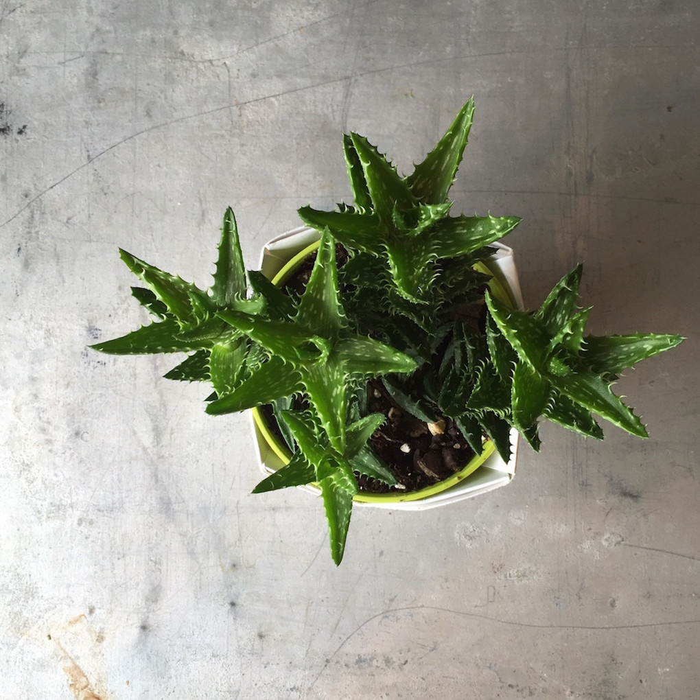 succulent home trend