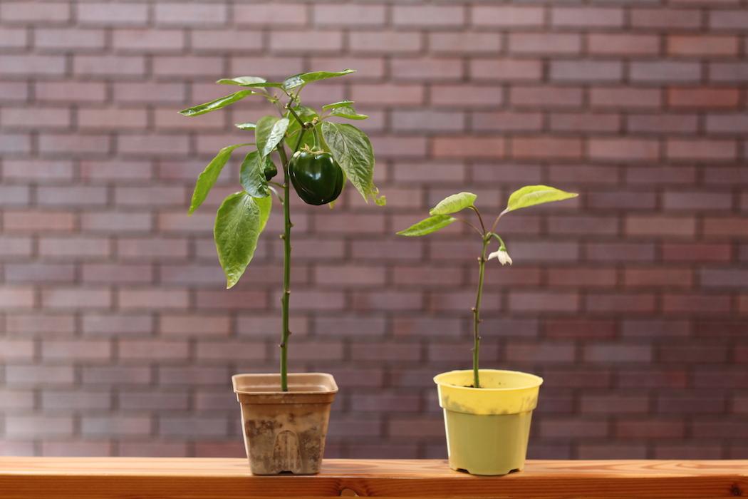selfeco-pot-growth-comparison