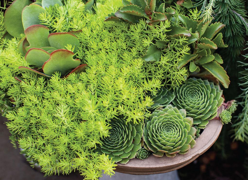 Succulents from Engelmann's Garden