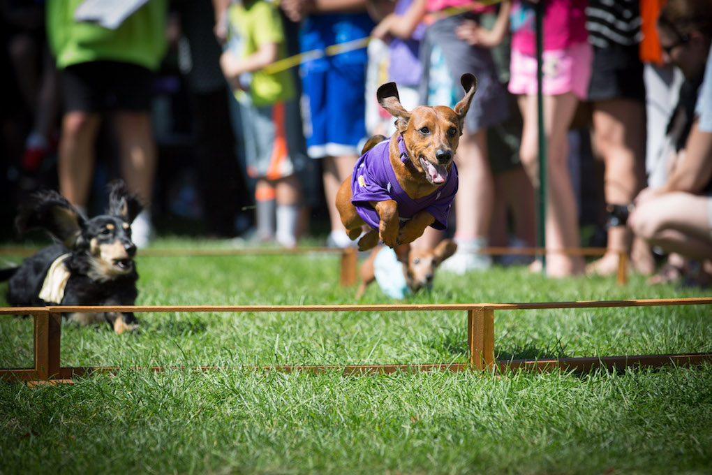wayzata dachshund races