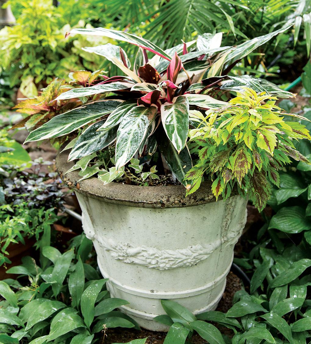 A white ceramic pot with a coleus plant inside.