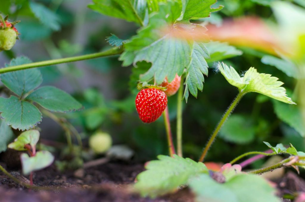 Strawberry plant growing in garden