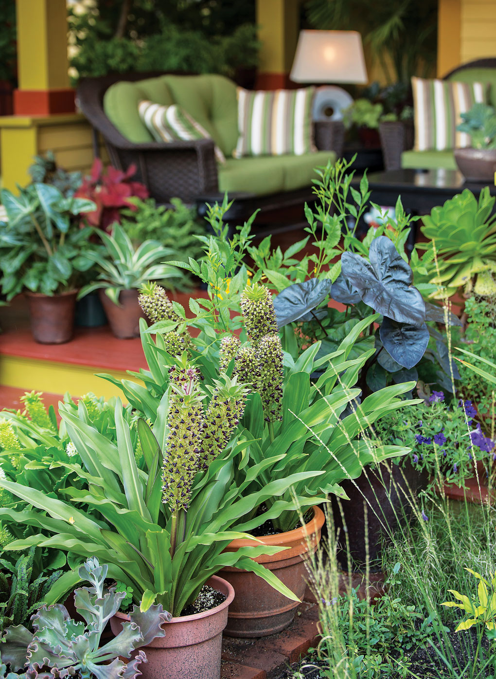 Planters along a front porch steps hold various cultivars of pineapple lilies and a deep purple Colocasia 'Kona Coffee'.