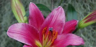 Purple-Prince-Oriental-Lily