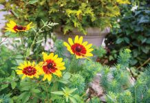 Black-Eyed Susans in Long's Garden