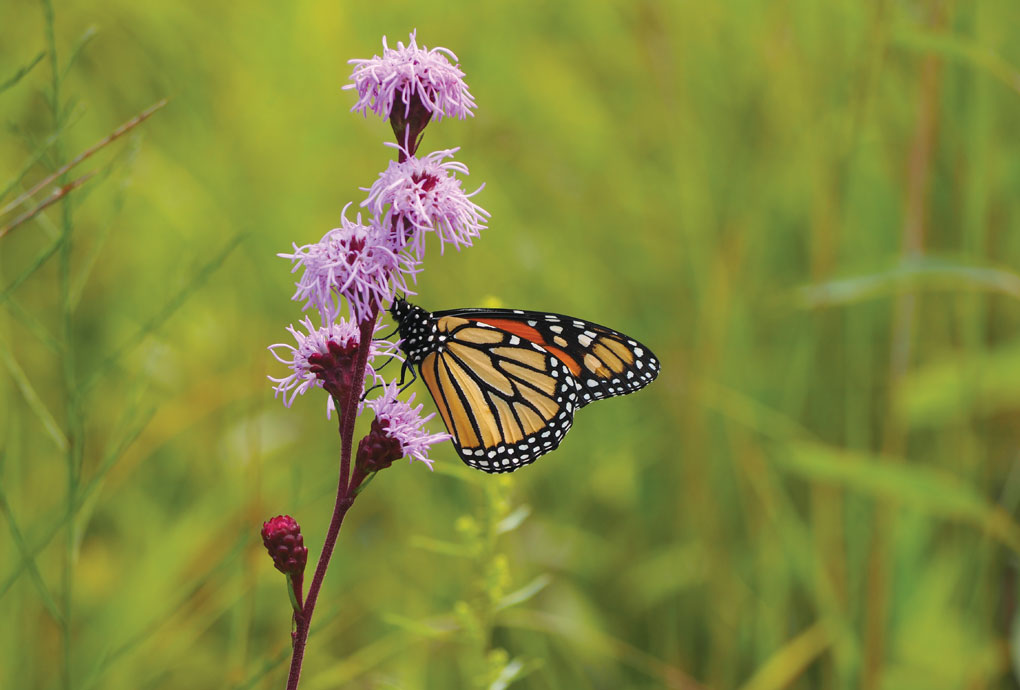 As this monarch atop a Liatris aspera flower demonstrates, native gardens do their part to attract butterflies and other pollinators.