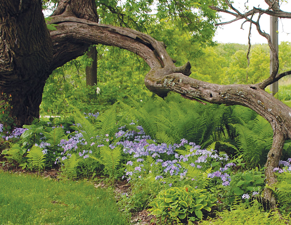 "A northern catalpa shades purple woodland phlox, cinnamon and bulblet ferns and Hosta ""Golden Tiara."""