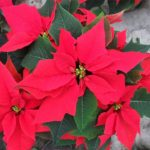 Poinsettia plant from the top.