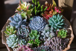 Bowl of green, blue, and purple succulents