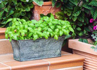 potted fresh basil