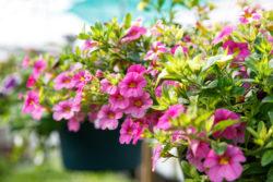Hanging Petunia Flower basket, nature background close up.