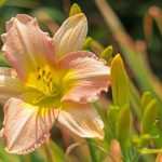 (Photo by Justin/Fotolia) See daylillies this weekend at the Minnesota Landscape Arboretum, one of our top sales and events picks for the week.