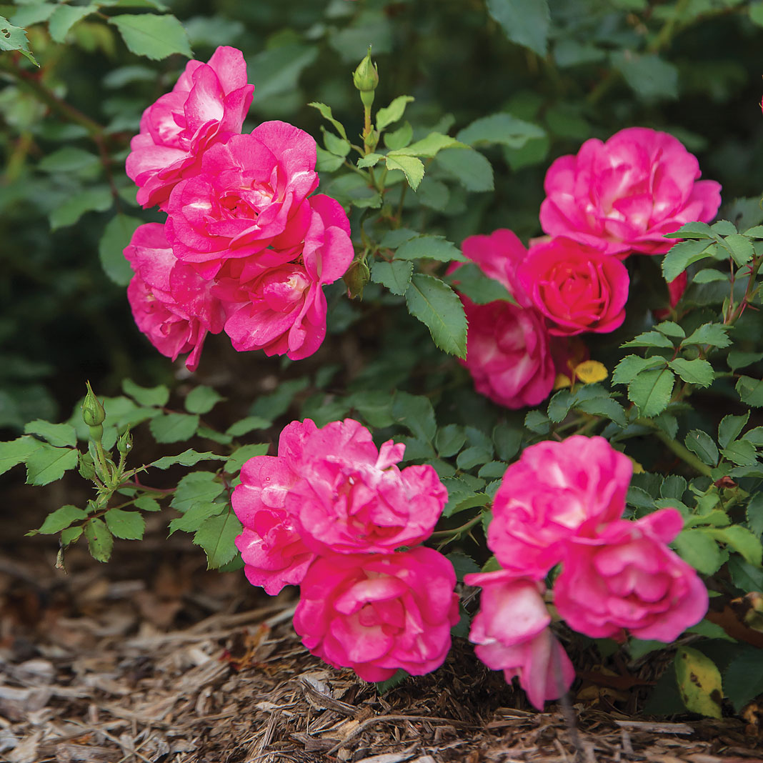 Vibrant groupings of Easy Elegance roses stand out amid all the greenery.