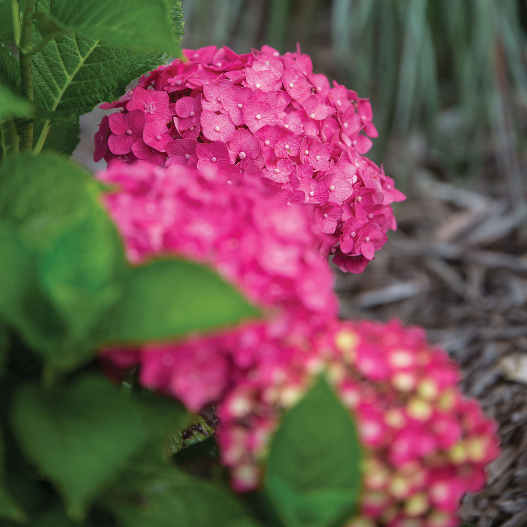 Part of Bailey's famous Endless Summer hydrangea series, the compact, raspberry-colored Summer Crush hydrangea is bred to bring a splash of color to gardens and patio containers.